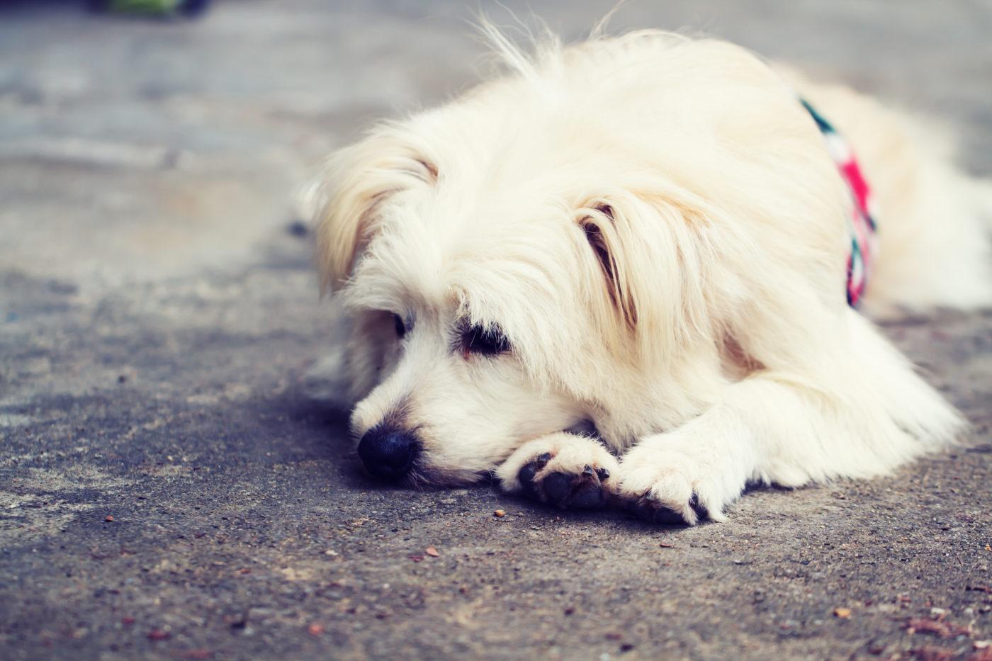Cão com Saudades